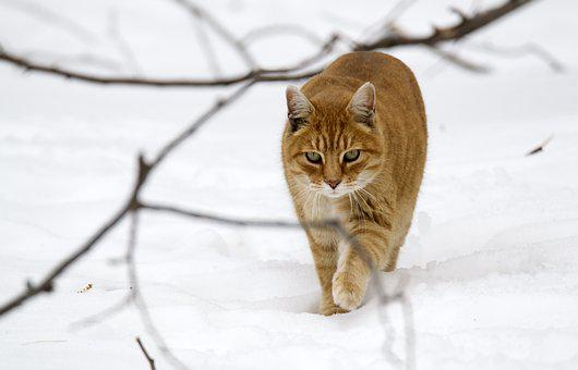 Animals, Cat, Tabby, Companion, Walking, Snow