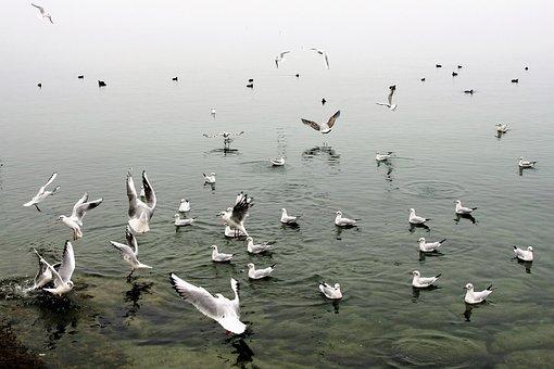 In Flight, The Seagulls, Water Birds, Autumn, Wings