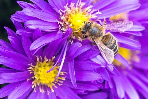 Bee, Flowers, Macro, Nature, Insect, Honey Bee