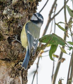 Blue Tit, Birds, Garden