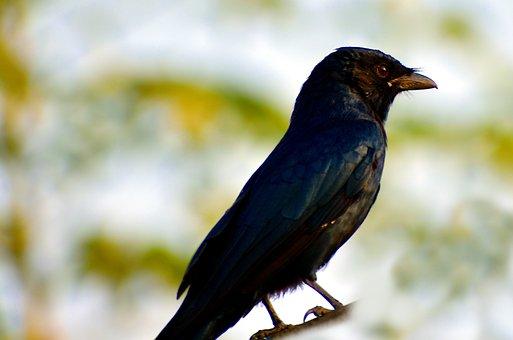 Black Bird, Small Bird, Rusty Grackle