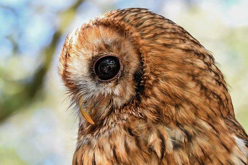 Owl, Hulotte, Black Eyes, Raptor, Nocturne, An Owl