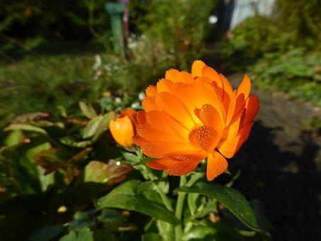 Flower, Orange, Blossom, Bloom, Orange Flowers