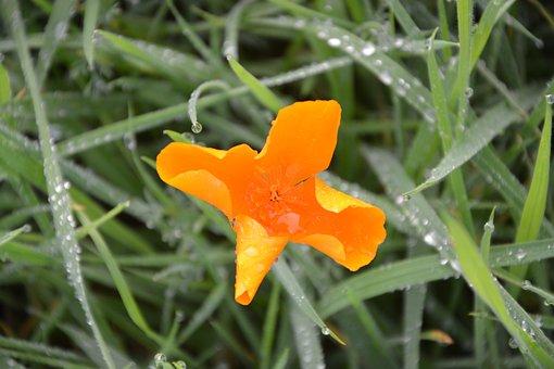 Flower, Orange Blossom, Green Grass Wet, Nature, Botany