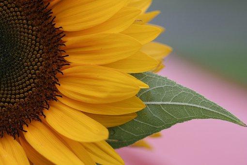 Flower, Sunflower, Leaf