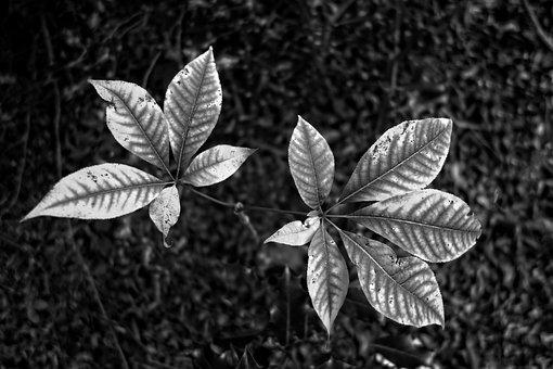 Leaf, Foliage, Plant, Nature, Monochrome