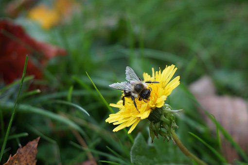 Bee, Flower, Fall, Nature, Honey, Insect, Yellow