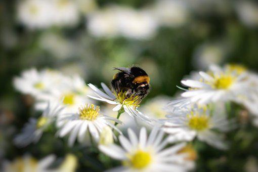 Hummel, Flower, Nature, Blossom, Bloom, Insect, Macro