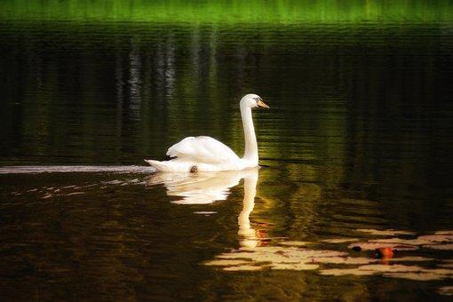 Swan, Lake, Water, White, Bird, Animal, Nature