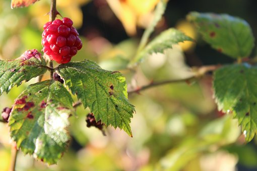Berry, Red, Leaves, Targeted Blur, Focus, Red Berry