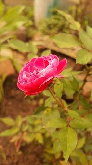 Rose, Pink, Blurred