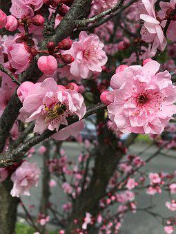 Bee, Spring, Cherry, Smell, Branch, Nature, Blossom