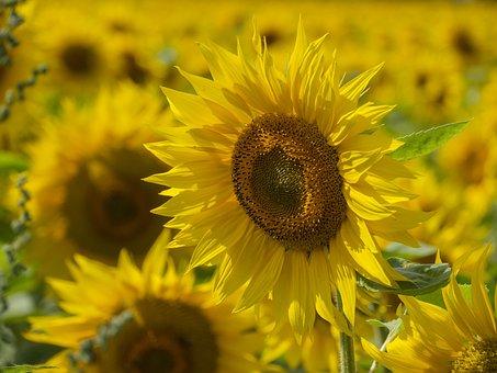 Sun Flower, Sunflower Field, Plant, Summer, Light
