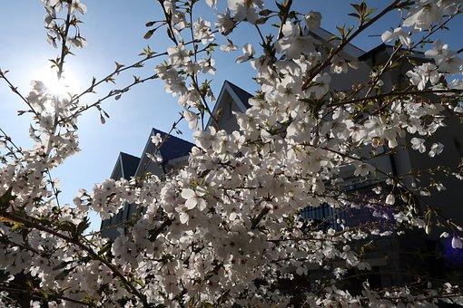 Cherry, Tree, Cherry Blossom, Japanese Cherry, White