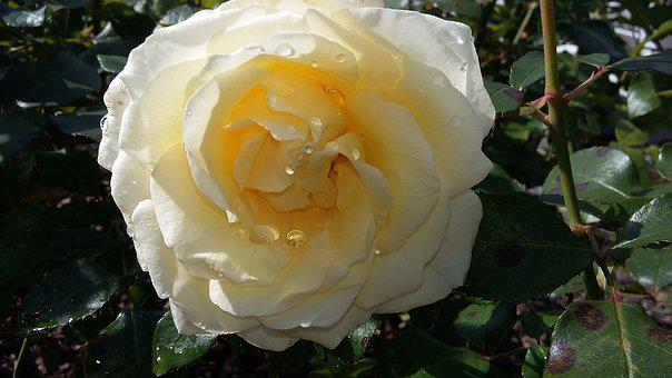 Rose, White, Rose Bloom, White Roses, Nature, Wedding