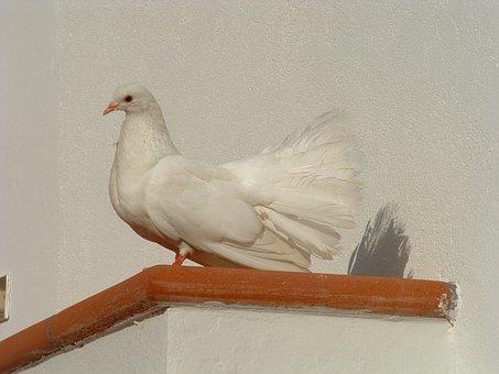 Colombo, White, Bird