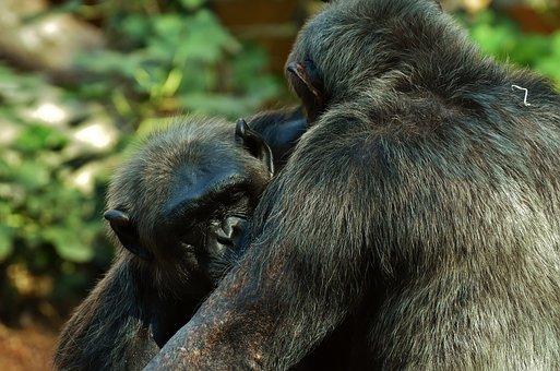 Chimps, Monkey, Animal World, Animal, Ape, Mammal, Zoo
