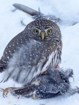 Owl, Young, Hunter, Raptor, Cute, Animal, Bird