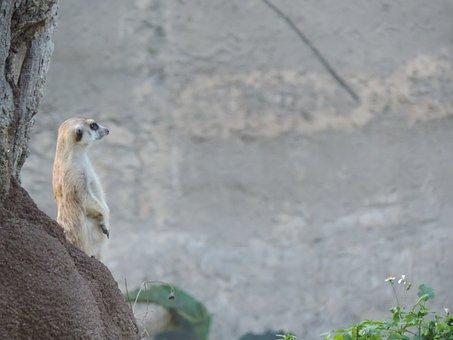 Meerkat, Watching, Animal World