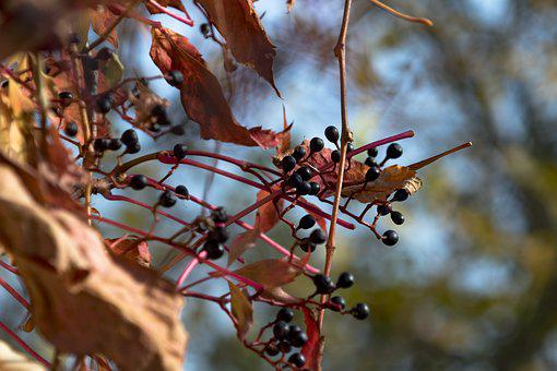 Bunch Of Grapes, Autumn, Golden Leaves, Dry Leaves