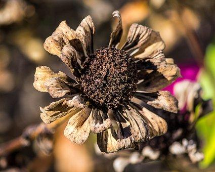 Dried Flowers, Frost Damage, Zinnia, Autumn Flower