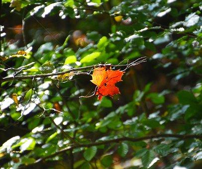 Autumn, Leaf, Fall Foliage, Golden Autumn, Leaves