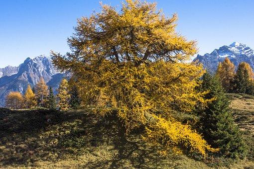 Pine, Fall Color, Tree, Cute, Mountains, Autumn, Alpine