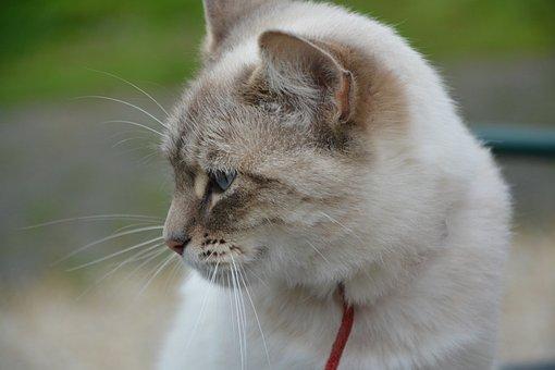 Cat, Profile Head Cat, Domestic Animal, Blue Eyes