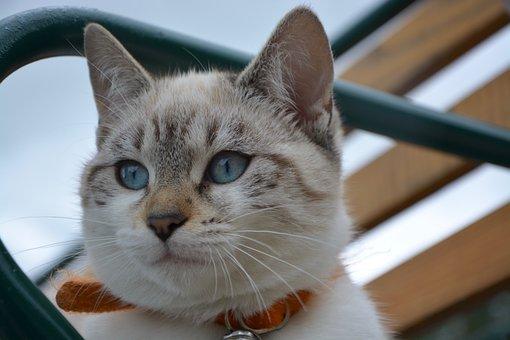 Kitten, Blue Eyes, Cat Eyes, Domestic Animal, Animal