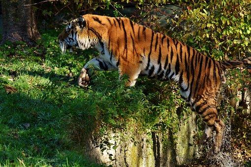 Tiger, Predator, Jump, Water, Fur, Beautiful, Dangerous