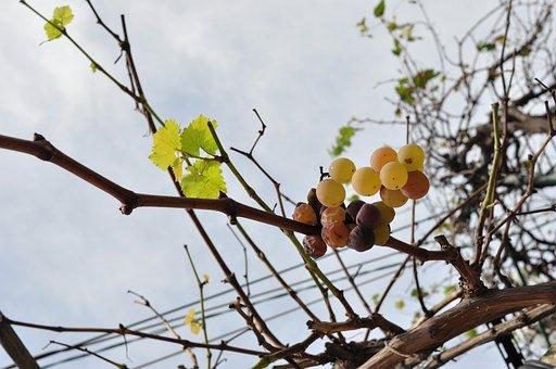 Grape, Fruit, Plant, Grapes, Plants, Delicious, Autumn