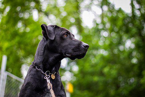 Dog, Head, Nature, Snout, Great Dane, Muzzle, A Hybrid