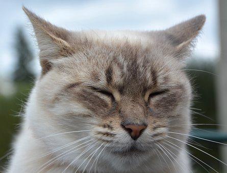 Cat, Portrait, Head, Face, Eyes Close, Domestic Animal