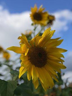 Sunflowers, Sunflower, Flower, Blue Sky, Fall, Vertical