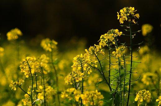 Field, Oilseed Rape, Yellow Flower, Nature