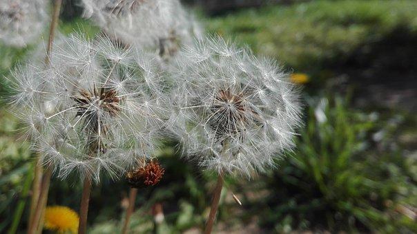 Grass, Prato, Green, Dandelion, Seeds, Spring, Flowers