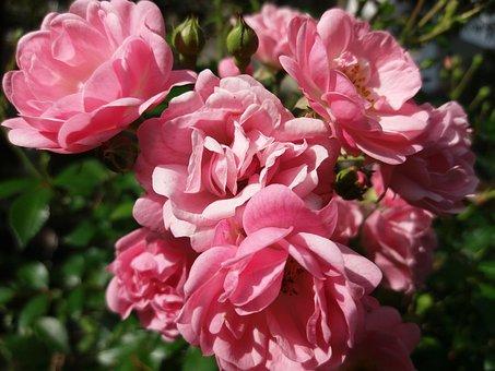 Roses, Garden, Rose Garden, Summer, Flowers, Flower