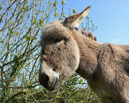 Donkey, Young Ass, Colt, Head Profile, Grey