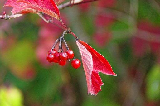 Leaf, Fall, Viburnum, Autumn Leaves, Red Leaf, Berries