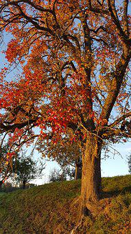 Pear, Tree, Autumn, Colorful, Leaves, Light, Red