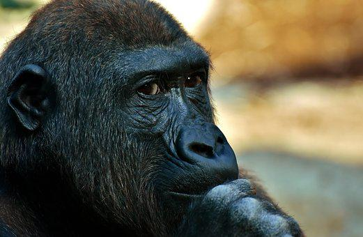 Gorilla, Monkey, Animal, Zoo, Furry, Omnivore
