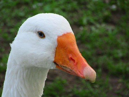 Goose, Beak, Water Drops, Blue Eye, Eye, Nature
