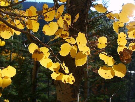 Aspen, Trees, Leaf, Leaves, Yellow, October, November