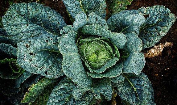 Vegetables, Savoy, Drop Of Water, Plant, Welsch Herb