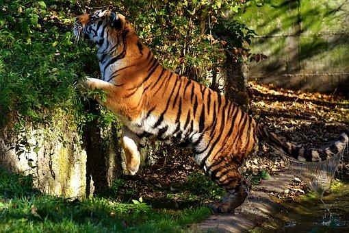 Tiger, Predator, Water Coat, Beautiful, Dangerous, Cat