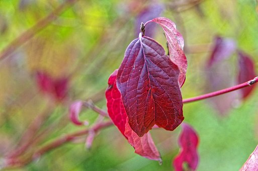 Leaf, Red, Fall, Dogwood, Red Leaf, Autumn Leaves