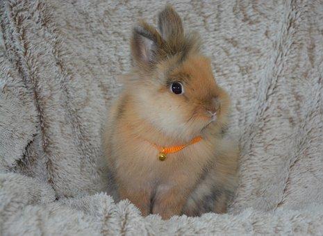 Dwarf Rabbit, Ruminant, Rabbit Lion Head
