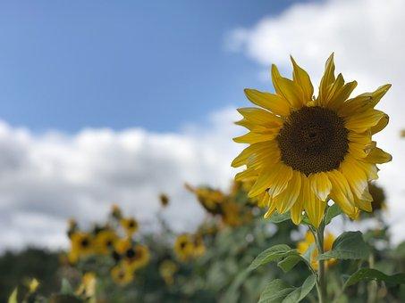 Sunflower, Clouds, Flowers, Fall