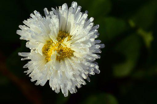 Daisy, Geese Flower, White, Dew, Morgentau, Blossom