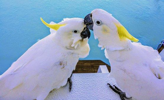 Cockatoo, White Bird, Animal, Wildlife, Nature